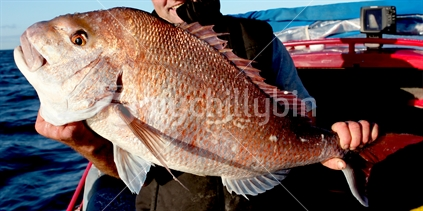 Large Snapper held by New Zealand Fisherman on Boat